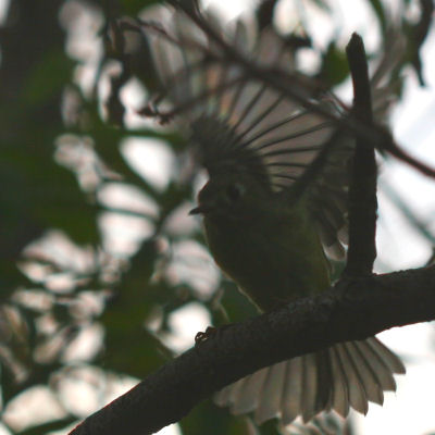 Ruby-crowned Kinglet with wing and tail spread
