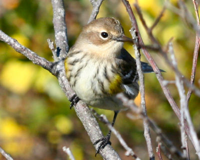Curious Yellow-rumped Warbler