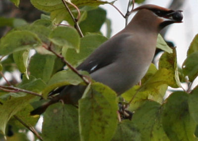 Bohemian Waxwing eating a berry