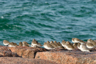 Dunlin and Sanderling at Jones Beach jetty