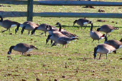 Pink-footed Goose with Canada Geese