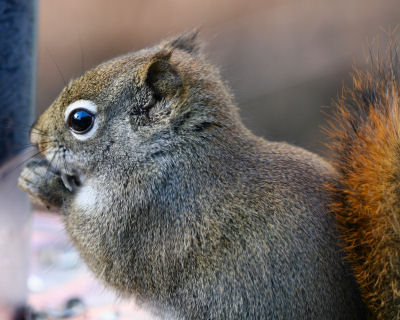 Red Squirrel snack