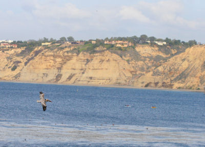 View from La Jolla with a Brown Pelican