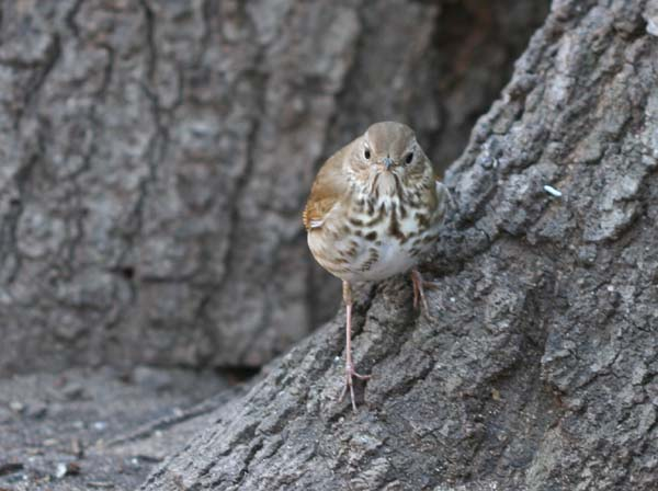 Hermit Thrush at base of tree in Forest Park, Queens, NY