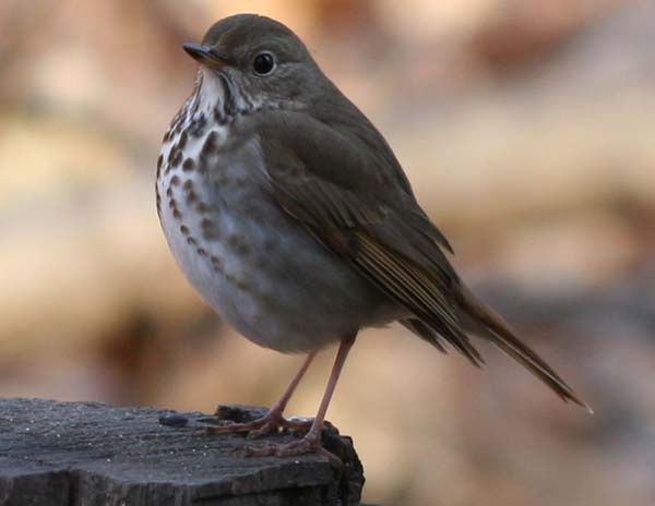 Hermit Thrush on a stump in Forest Park, Queens, NY