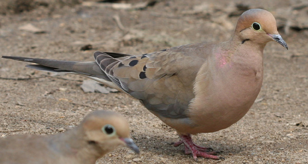 Mourning Doves in Forest Park