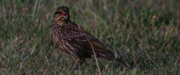 digiscoped female Red-winged Blackbird