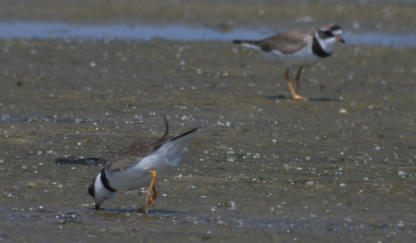 digiscoped Semipalmated Plovers
