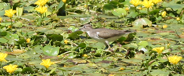 Spotted Sandpiper walking on water