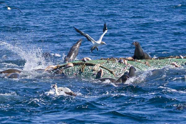 Pelagic Scene Cape Point