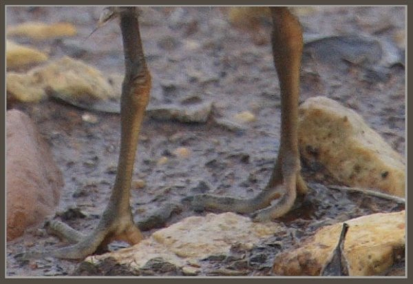 Semipalmated Plover chick feet