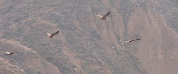 griffon vultures in Spain