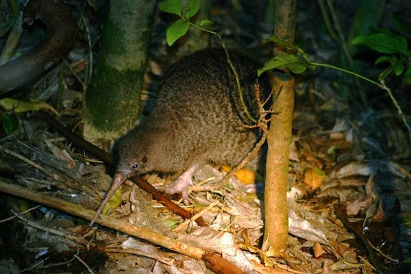 pg-nz-little-spotted-kiwi-by-david-shackelford-1