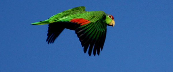 Red-crowned Parrot in flight at Irvine Regional Park