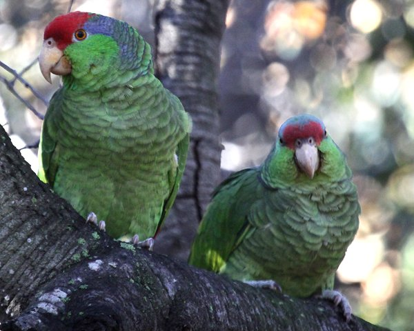 Red-crowned Parrots in Irvine Regional Park