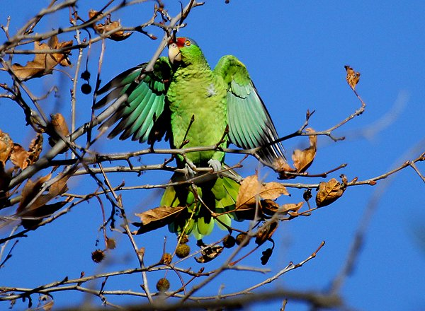 Red-crowned Parrot stretching its wings