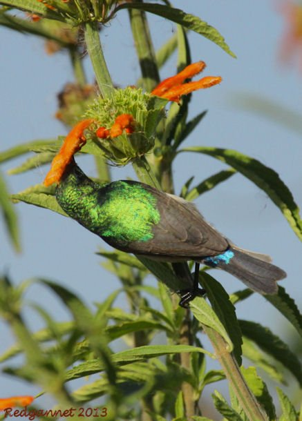 CPT 22Mar13 Southern Double-collared Sunbird 03