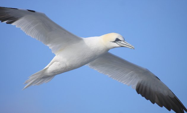 Northern Gannet flying behind the boat