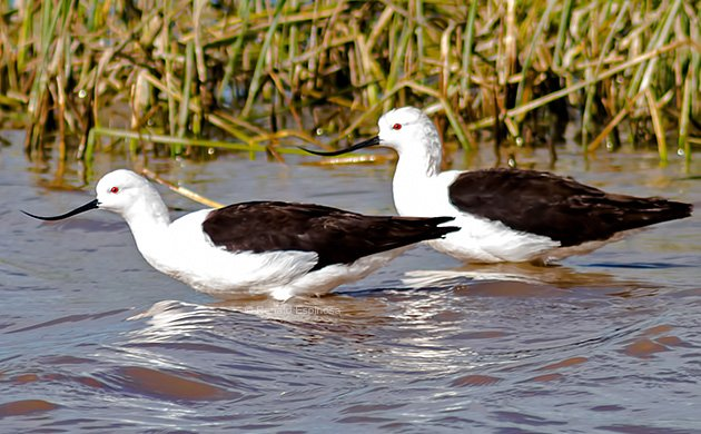 Andean Avocets