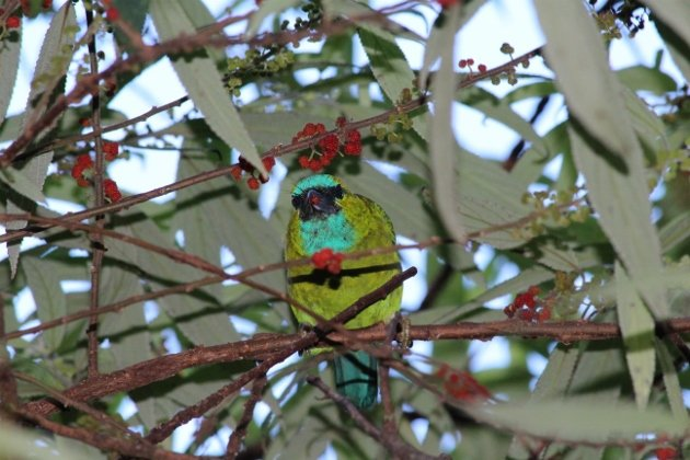 Golden-naped Barbet