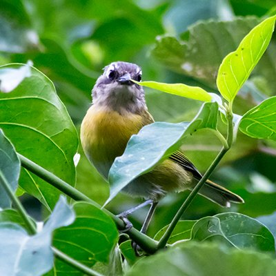 Common-bush Tanager