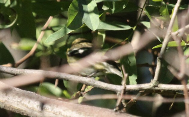 Diabolical Wood-Warbler Quiz Picture 1