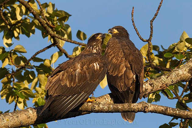 Two Juvenile Bald Eagles on Branch