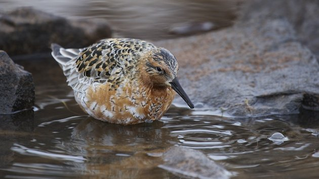 Water drains from a feeding Red Knot's head