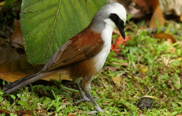 SIN 09May13 White-crested Laughing Thrush 18