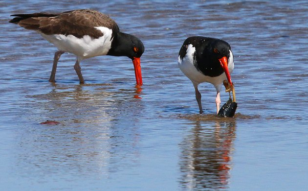 Sandy Hook American Oystercatchers