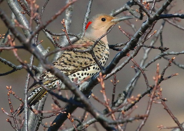 Sandy Hook Northern Flicker