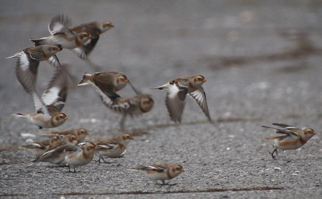 Snow Buntings taking off