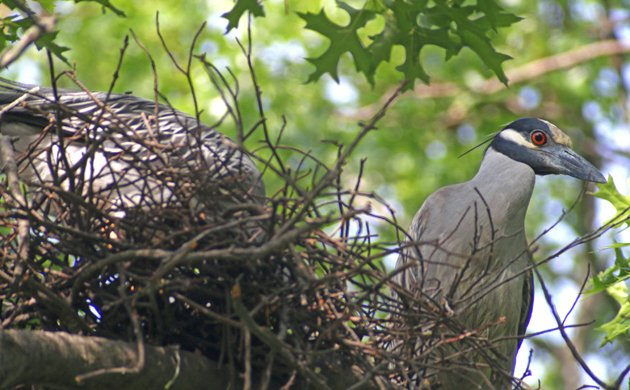 Yellow-crowned Night-Herons at nest