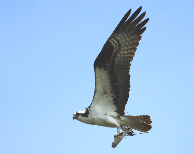 Osprey carrying a fish at Jamaica Bay
