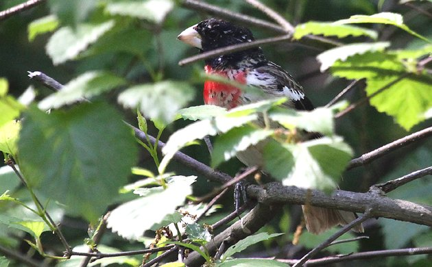 young male Rose-breasted Grosbeak