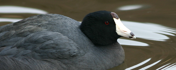 Oh bold, adventurous coot!