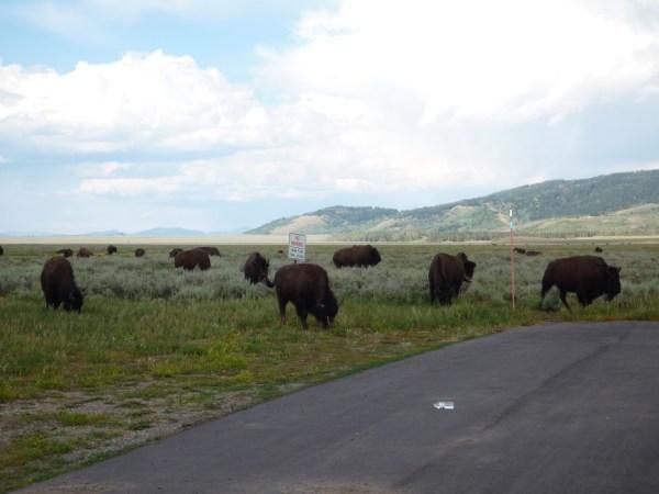 Ouest américain Grand Teton National Park Bisons