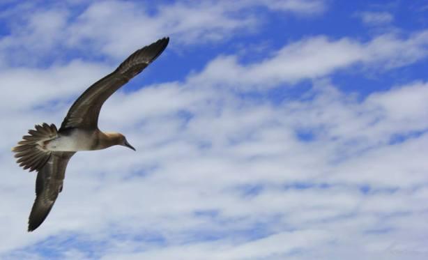 A Seabird in Niihau