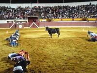 牡牛とだるまさんが転んだ?www闘牛場でとても平和なゲームが生まれるwww