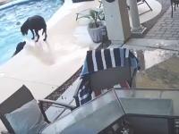 プールで溺れそうになっている仲間を救ったワンちゃんのビデオが人気に。