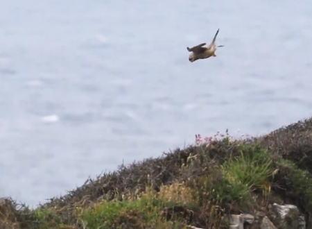 強い向かい風の中で完全停止しているハヤブサの動画。頭部の安定感すげえええ。