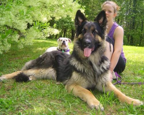 Medium Of German Shepherd Shedding