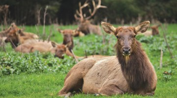 #92 – Roosevelt Elk Viewing