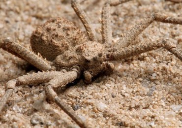 Nhện cát 6 mắt