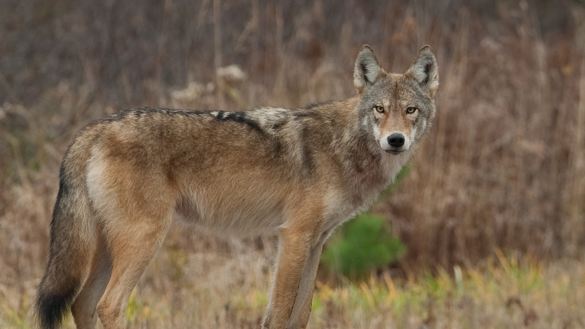 Reputable Understanding Wolf Hybrids Just Got A Bit Easier Green Science Understanding Wolf Hybrids Just Got A Bit Wolf Hybrid Dog Behavior Wolf Hybrid Dogs California bark post Wolf Hybrid Dog