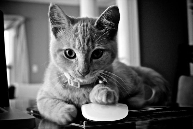 real-cat