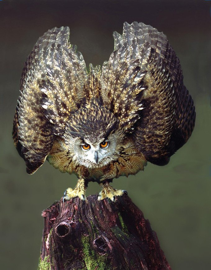 Defensive Owl