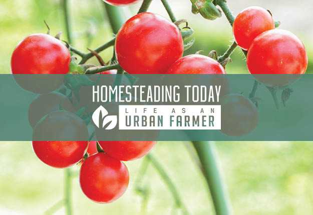 Learn how to prune tomatoes so you can harvest all summer long. | 133 Homesteading Skills for Beginners