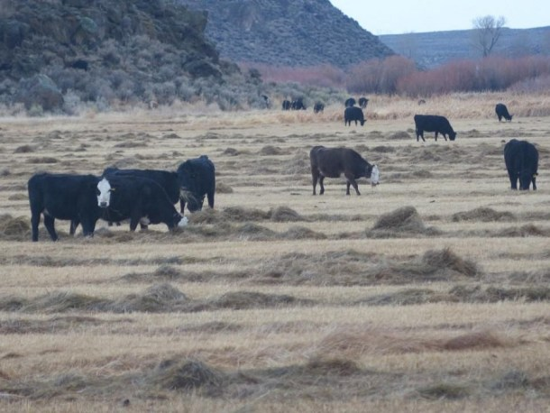 1-Oregon-Cattle