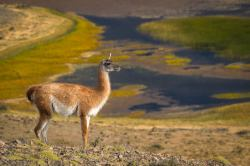 Peachy Gear Sony Mirrorless Camera Colby Brown Photography Sony 70 200 F4 Low Light Performance Sony 70 200 F4 Vs Tamron 2 8 Sony Sony Fe Photographing A Guanaco